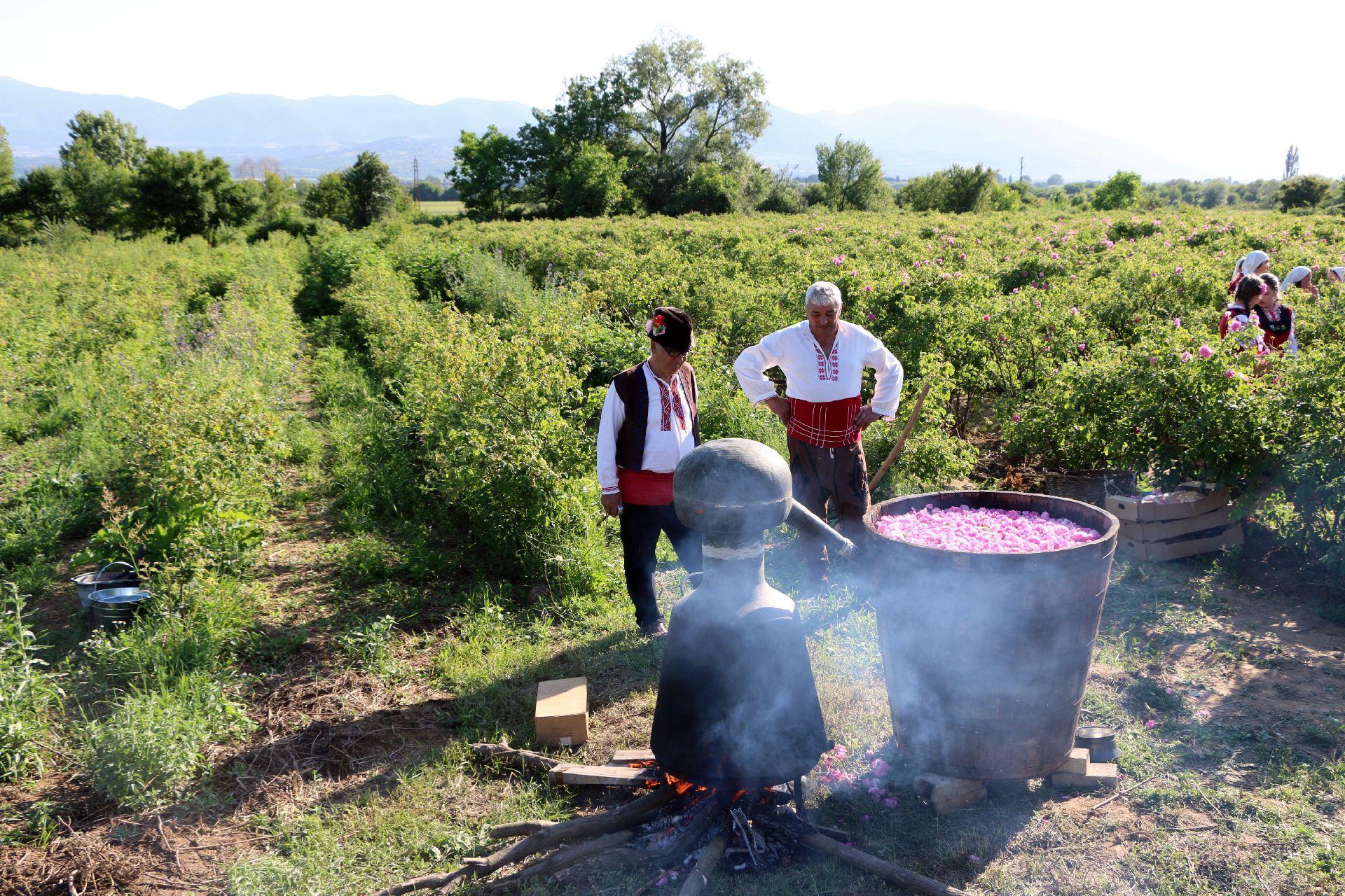 Destylacja olejku różanego w bułgarskiej Dolinie Róż (zdjęcie Wikipedia)