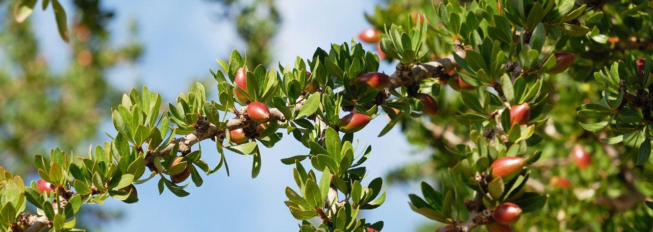 Owoce arganii żelaznej (Argania Spinosa), zdjęcie: Natur's Aid