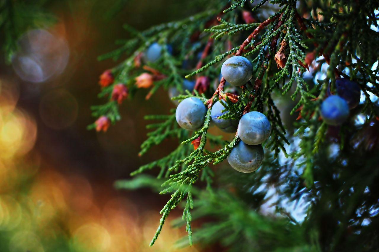 Owoce jałowca (zdjęcie tapeciarnia.pl)