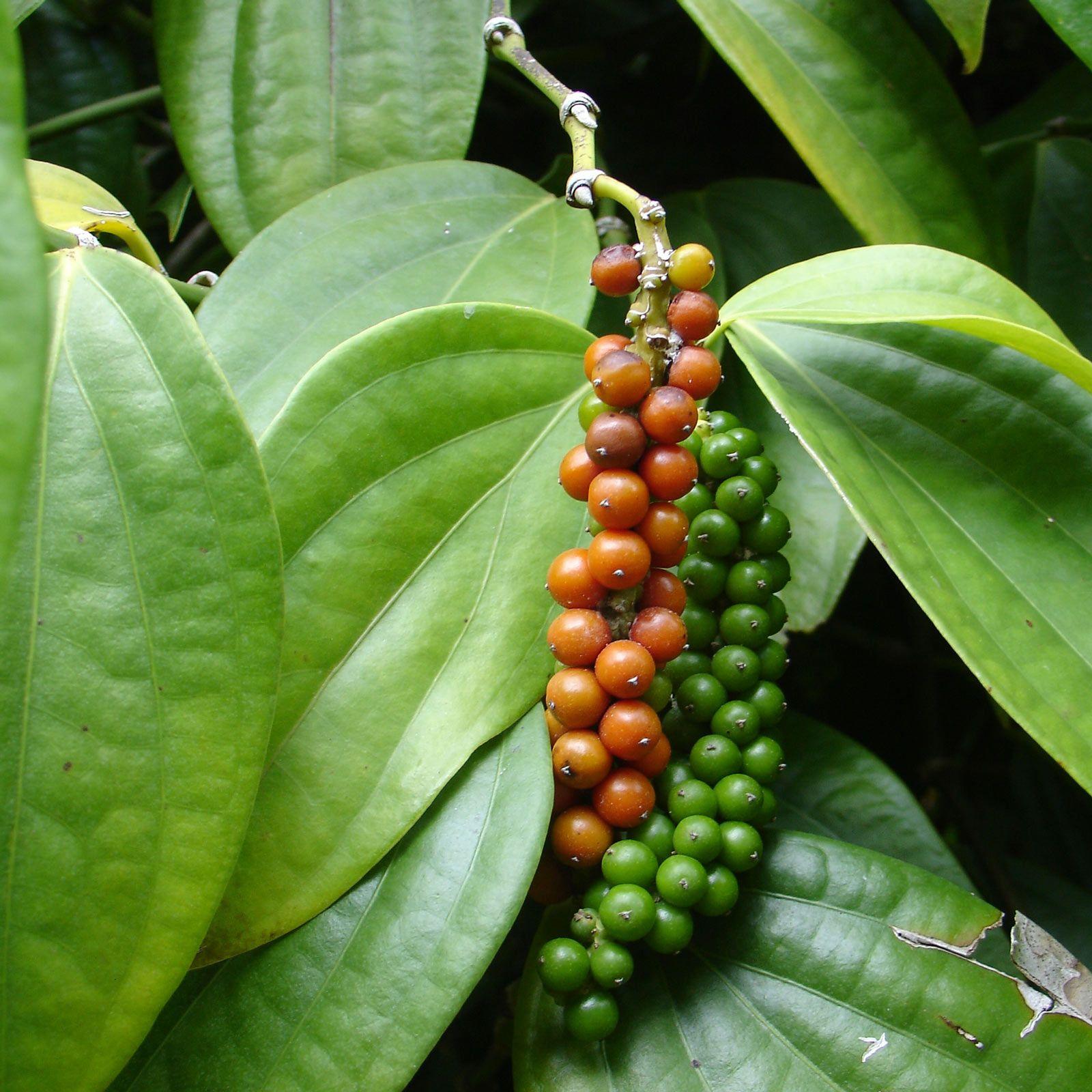 Owocostan Pieprzu czarnego (Piper nigrum)